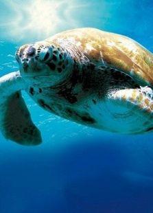 在海里飞翔(海龟:奇妙之旅)