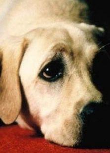 导盲犬小Q标题