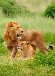 BBC:大猫家族史