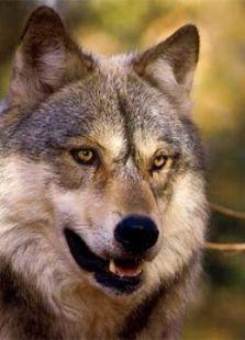 受辐射的狼群