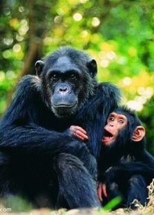 BBC:猿猴的秘密